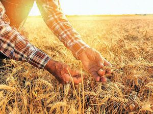 رکورد بی سابقه بانک کشاورزی در پرداخت ۲۰ هزار میلیارد ریال وجوه گندم طی دوماه